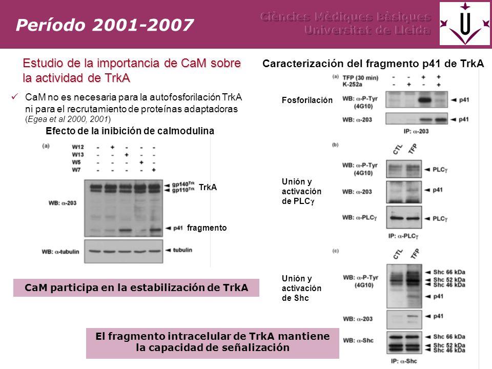 Período 2001-2007 Estudio de la importancia de CaM sobre la actividad de TrkA CaM no es necesaria para la autofosforilación TrkA ni para el recrutamiento de proteínas adaptadoras (Egea et al 2000, 2001) CaM participa en la estabilización de TrkA Caracterización del fragmento p41 de TrkA Fosforilación Unión y activación de PLC Unión y activación de Shc El fragmento intracelular de TrkA mantiene la capacidad de señalización TrkA fragmento Efecto de la inibición de calmodulina
