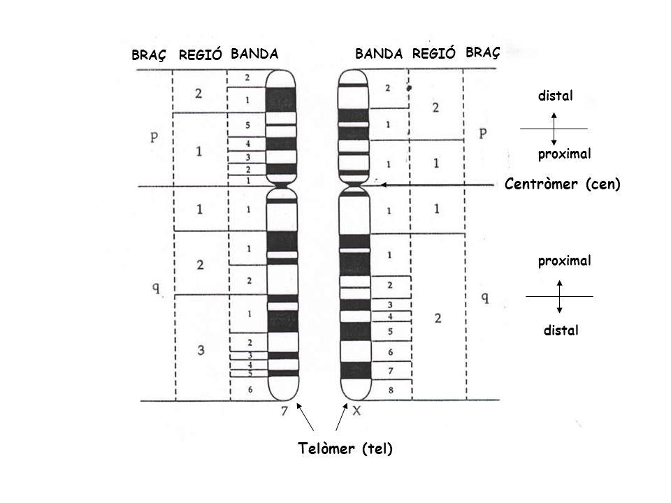 BRAÇREGIÓ BANDA Centròmer (cen) proximal distal proximal distal Telòmer (tel) BRAÇ REGIÓ BANDA