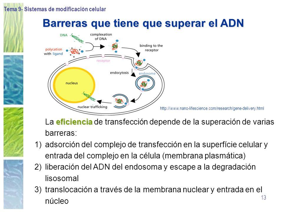 Tema 9- Sistemas de modificación celular 13 eficiencia La eficiencia de transfección depende de la superación de varias barreras: 1) 1)adsorción del c