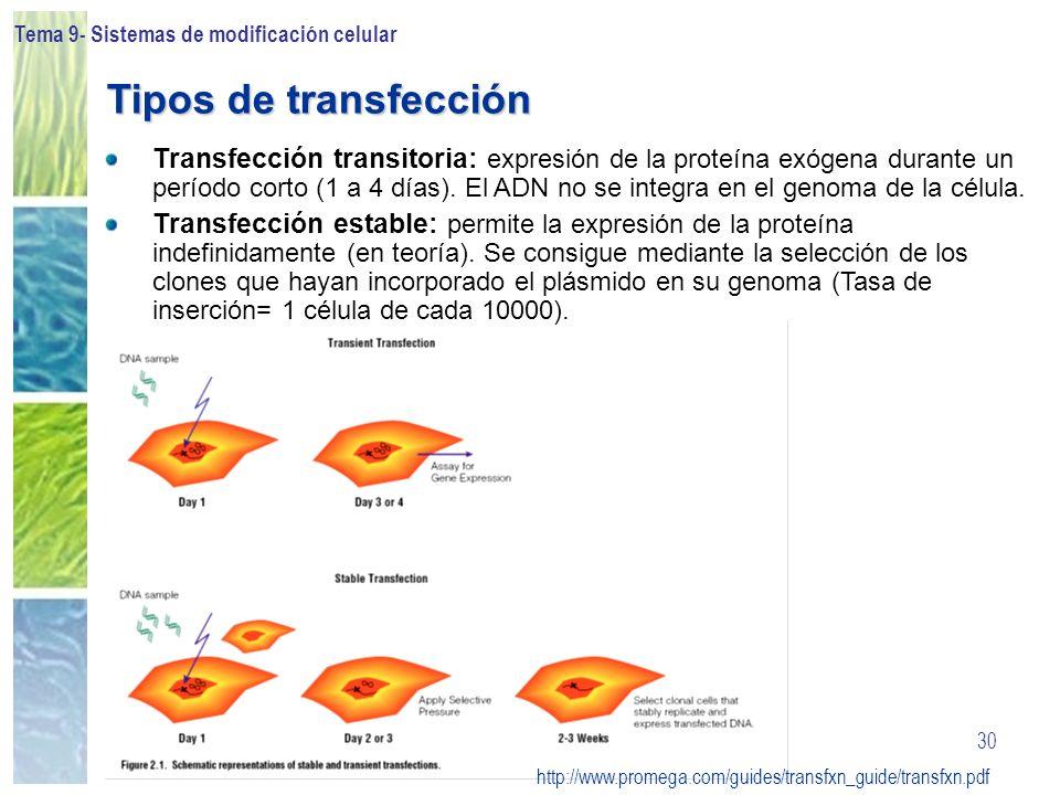 Tema 9- Sistemas de modificación celular 30 Transfección transitoria: expresión de la proteína exógena durante un período corto (1 a 4 días). El ADN n
