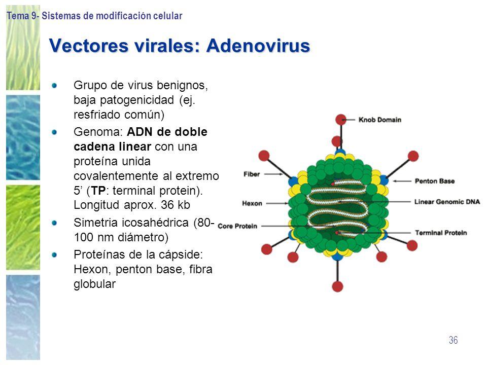 Tema 9- Sistemas de modificación celular 36 Vectores virales: Adenovirus Grupo de virus benignos, baja patogenicidad (ej. resfriado común) Genoma: ADN