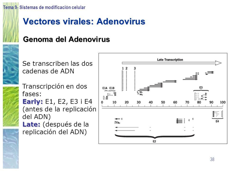 Tema 9- Sistemas de modificación celular 38 Vectores virales: Adenovirus Genoma del Adenovirus Se transcriben las dos cadenas de ADN Transcripción en