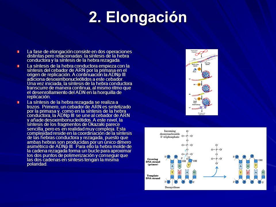2. Elongación La fase de elongación consiste en dos operaciones distintas pero relacionadas: la síntesis de la hebra conductora y la síntesis de la he