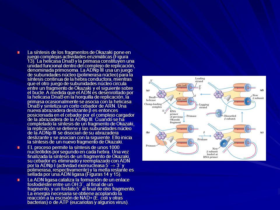 La síntesis de los fragmentos de Okazaki pone en juego complejas actividades enzimáticas (Figura 13). La helicasa DnaB y la primasa constituyen una un