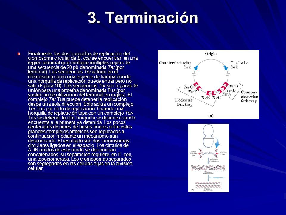 3. Terminación Finalmente, las dos horquillas de replicación del cromosoma circular de E. coli se encuentran en una región terminal que contiene múlti