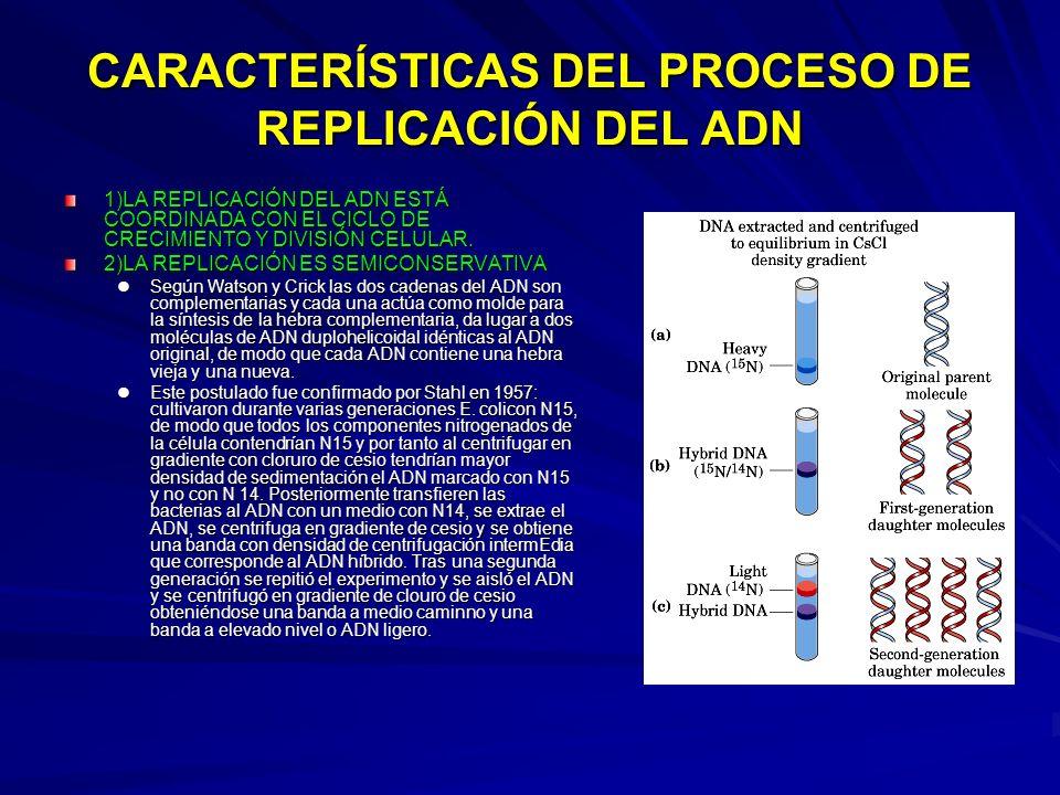 CARACTERÍSTICAS DEL PROCESO DE REPLICACIÓN DEL ADN 1)LA REPLICACIÓN DEL ADN ESTÁ COORDINADA CON EL CICLO DE CRECIMIENTO Y DIVISIÓN CELULAR. 2)LA REPLI