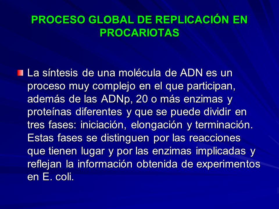 PROCESO GLOBAL DE REPLICACIÓN EN PROCARIOTAS La síntesis de una molécula de ADN es un proceso muy complejo en el que participan, además de las ADNp, 2