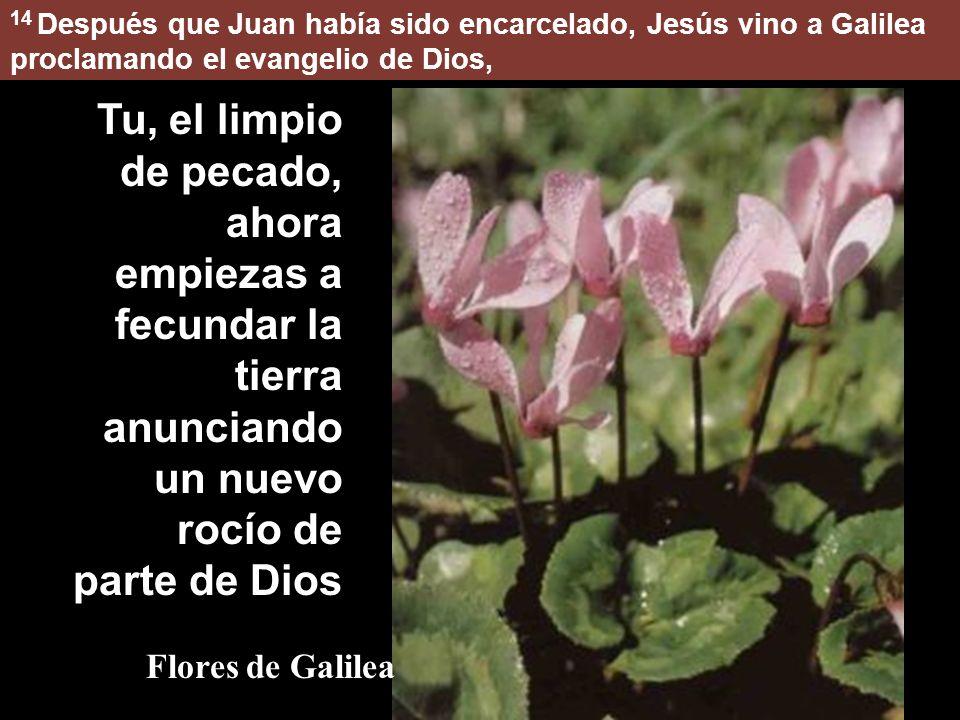 14 Después que Juan había sido encarcelado, Jesús vino a Galilea proclamando el evangelio de Dios, Tu, el limpio de pecado, ahora empiezas a fecundar la tierra anunciando un nuevo rocío de parte de Dios Flores de Galilea