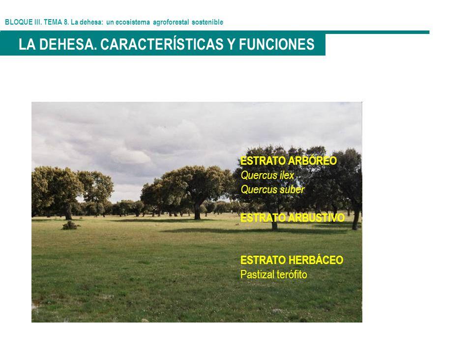 BLOQUE III. TEMA 8. La dehesa: un ecosistema agroforestal sostenible LA DEHESA. CARACTERÍSTICAS Y FUNCIONES ESTRATO ARBÓREO Quercus ilex Quercus suber