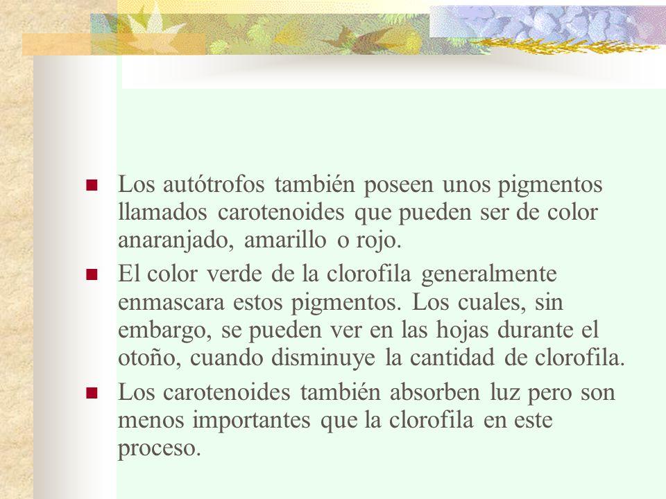 Los autótrofos también poseen unos pigmentos llamados carotenoides que pueden ser de color anaranjado, amarillo o rojo. El color verde de la clorofila