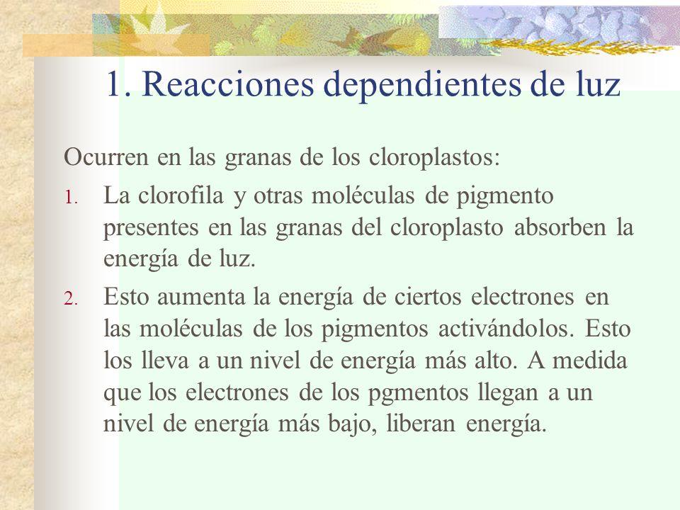 1. Reacciones dependientes de luz Ocurren en las granas de los cloroplastos: 1. La clorofila y otras moléculas de pigmento presentes en las granas del