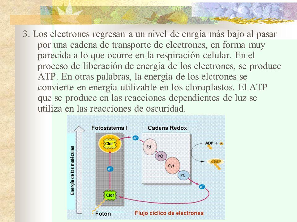 3. Los electrones regresan a un nivel de enrgía más bajo al pasar por una cadena de transporte de electrones, en forma muy parecida a lo que ocurre en