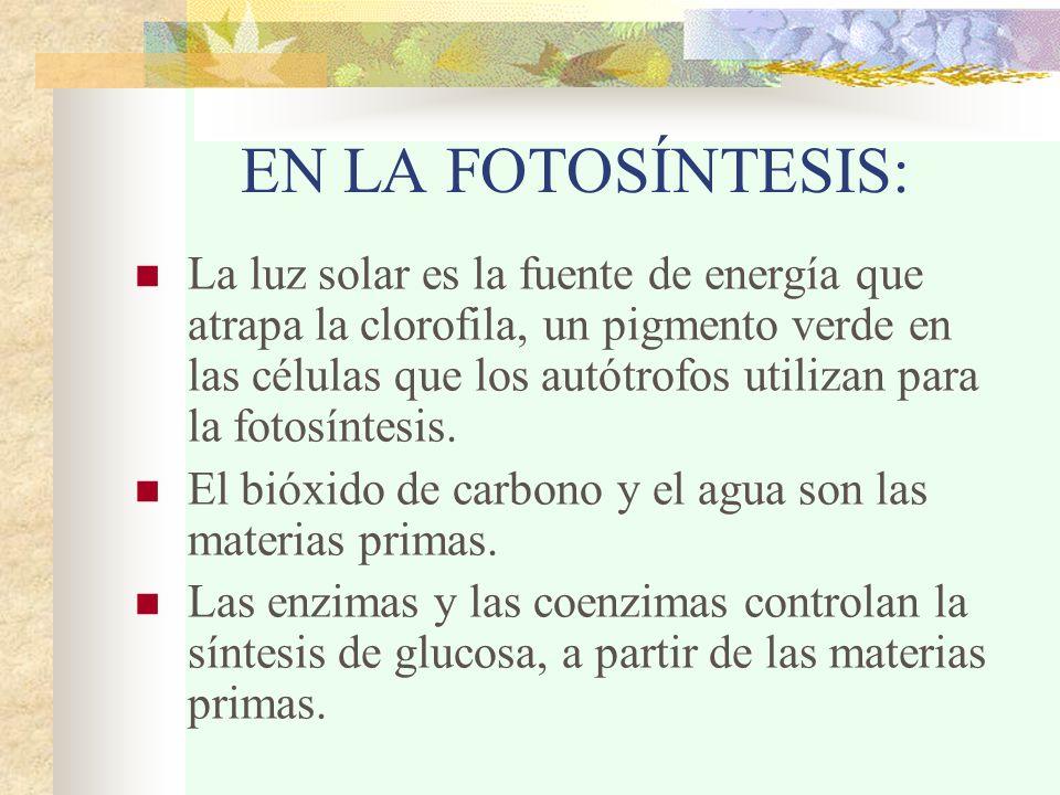 EN LA FOTOSÍNTESIS: La luz solar es la fuente de energía que atrapa la clorofila, un pigmento verde en las células que los autótrofos utilizan para la