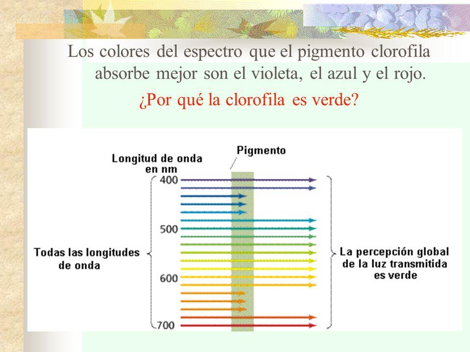 1.Reacciones dependientes de luz Ocurren en las granas de los cloroplastos: 1.