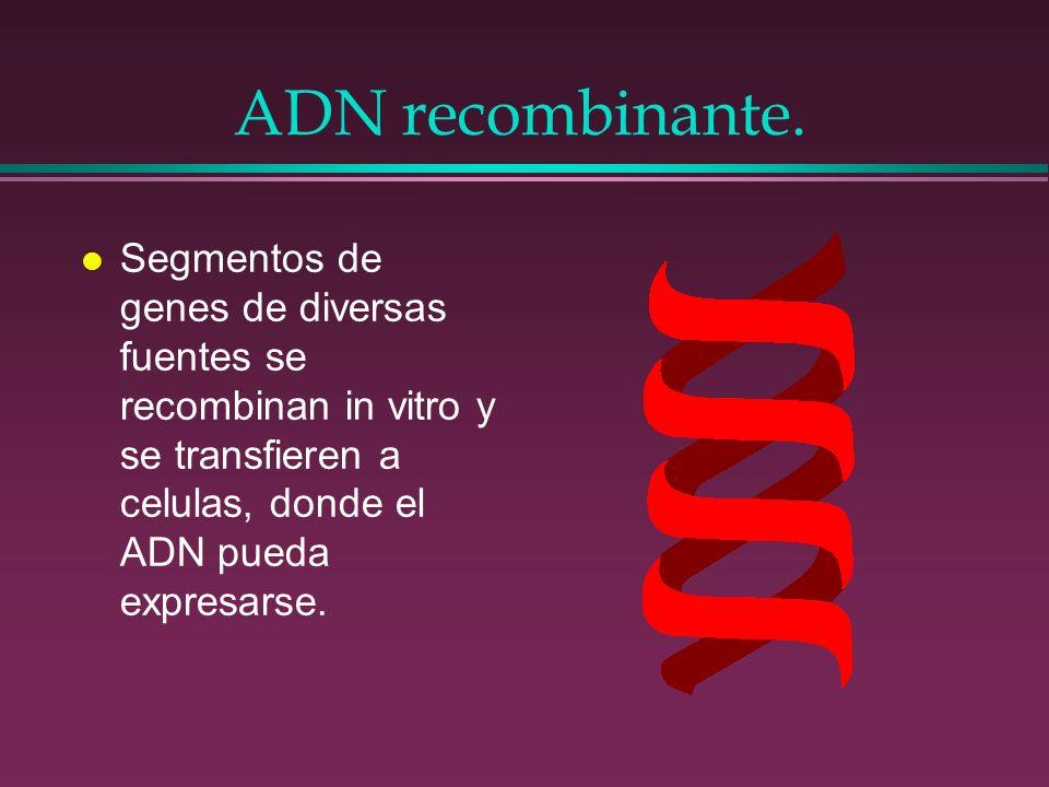 ADN recombinante. l Segmentos de genes de diversas fuentes se recombinan in vitro y se transfieren a celulas, donde el ADN pueda expresarse.