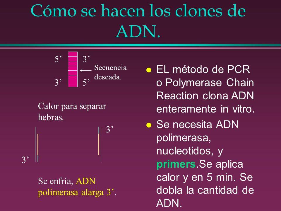Cómo se hacen los clones de ADN. l EL método de PCR o Polymerase Chain Reaction clona ADN enteramente in vitro. l Se necesita ADN polimerasa, nucleoti