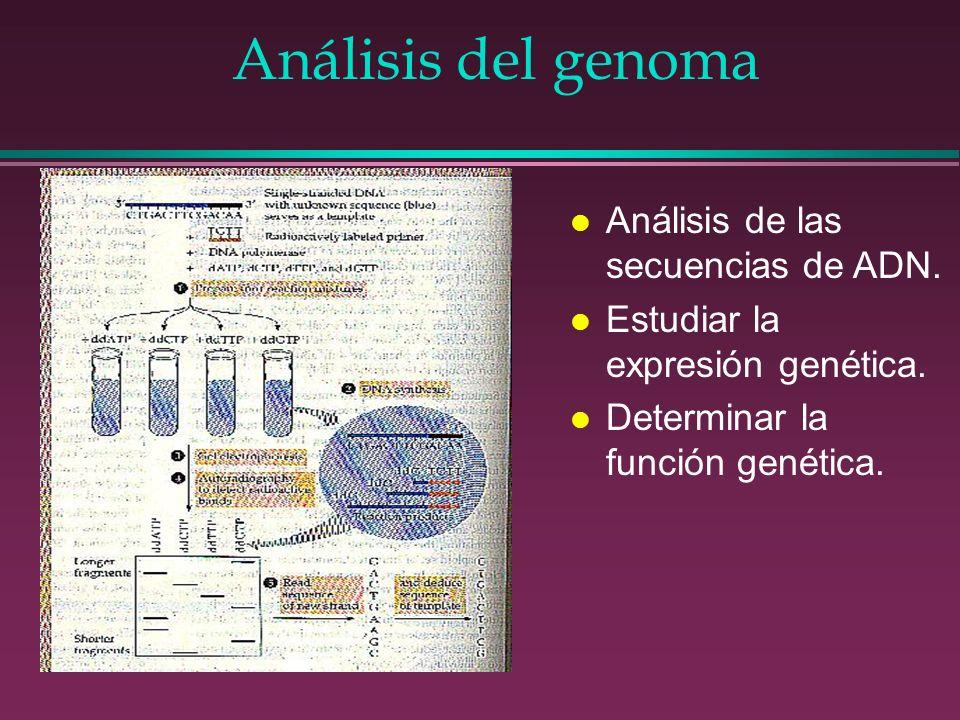 Análisis del genoma l Análisis de las secuencias de ADN. l Estudiar la expresión genética. l Determinar la función genética.