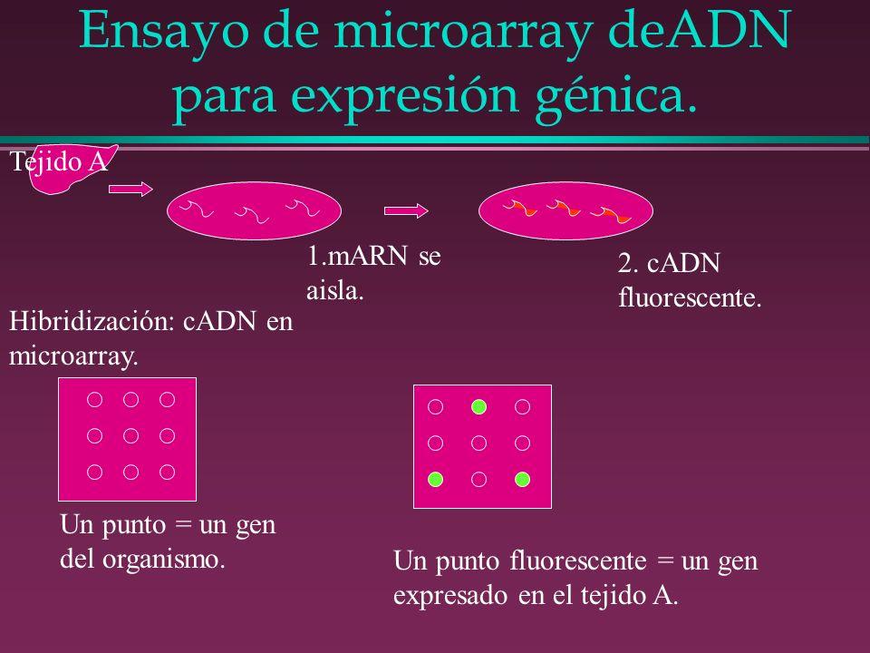 Ensayo de microarray deADN para expresión génica. Tejido A 1.mARN se aisla. 2. cADN fluorescente. Hibridización: cADN en microarray. Un punto = un gen