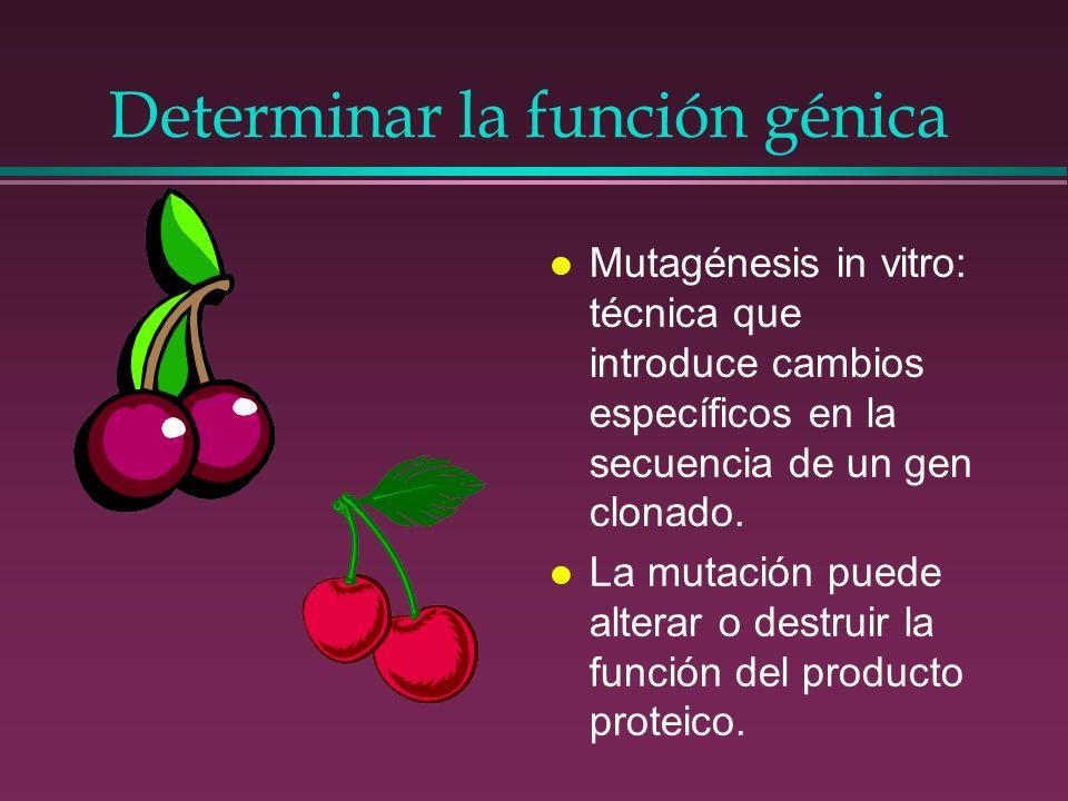 Determinar la función génica l Mutagénesis in vitro: técnica que introduce cambios específicos en la secuencia de un gen clonado. l La mutación puede