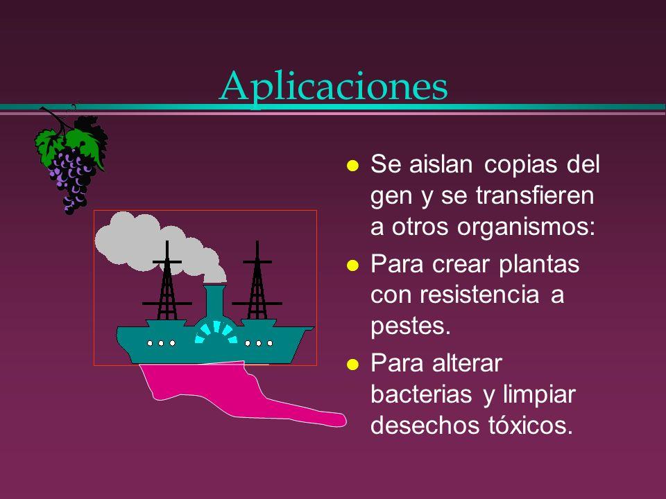 Aplicaciones l Se aislan copias del gen y se transfieren a otros organismos: l Para crear plantas con resistencia a pestes. l Para alterar bacterias y