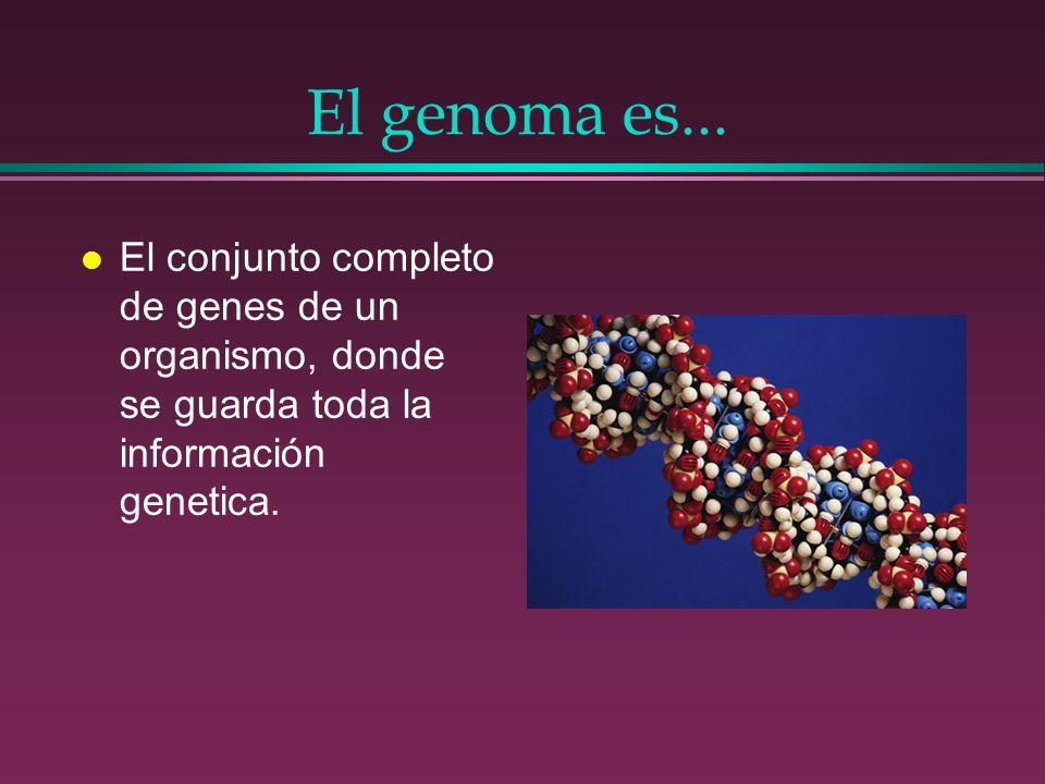 Algunos (de los 30.000) genes localizados hasta hoy.