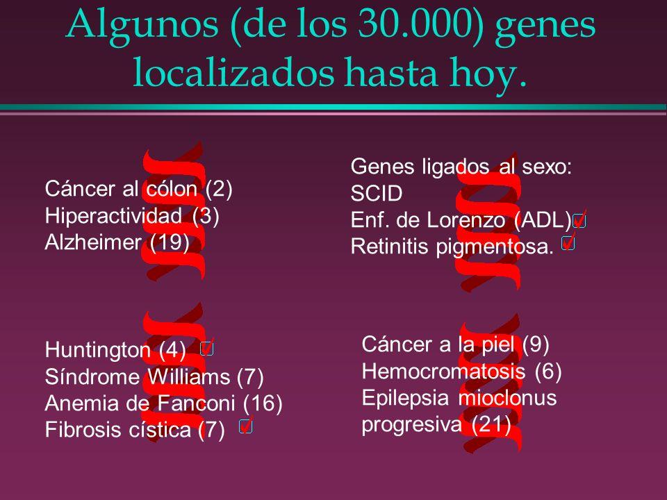 Algunos (de los 30.000) genes localizados hasta hoy. Cáncer al cólon (2) Hiperactividad (3) Alzheimer (19) Genes ligados al sexo: SCID Enf. de Lorenzo
