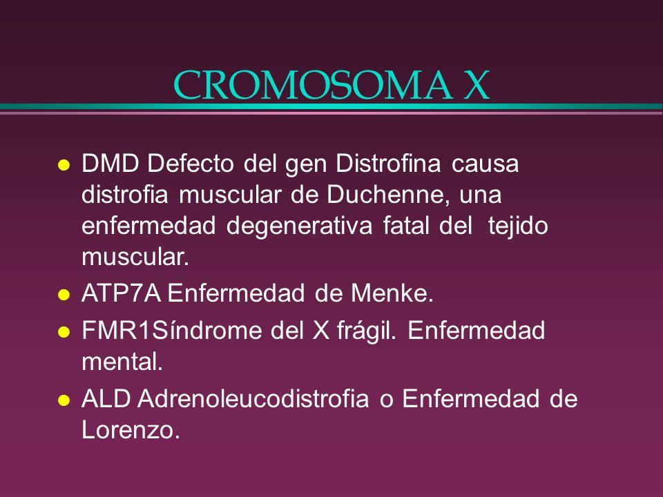 CROMOSOMA X l DMD Defecto del gen Distrofina causa distrofia muscular de Duchenne, una enfermedad degenerativa fatal del tejido muscular. l ATP7A Enfe