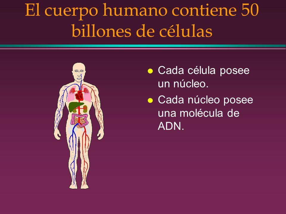 El cuerpo humano contiene 50 billones de células l Cada célula posee un núcleo. l Cada núcleo posee una molécula de ADN.