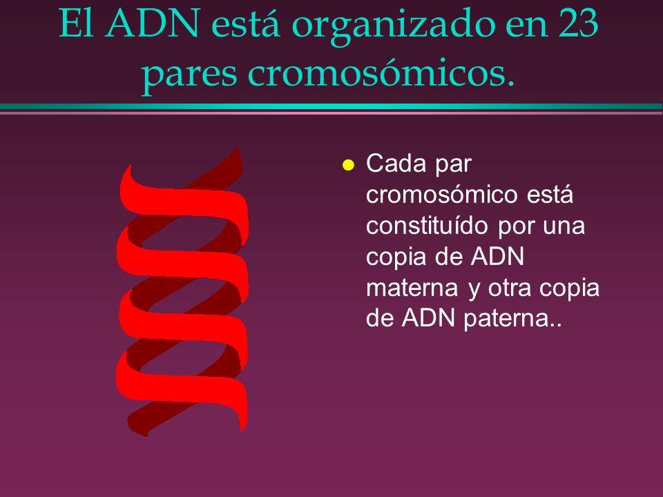 El ADN está organizado en 23 pares cromosómicos. l Cada par cromosómico está constituído por una copia de ADN materna y otra copia de ADN paterna..