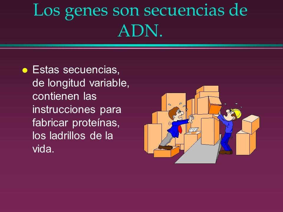 Los genes son secuencias de ADN. l Estas secuencias, de longitud variable, contienen las instrucciones para fabricar proteínas, los ladrillos de la vi