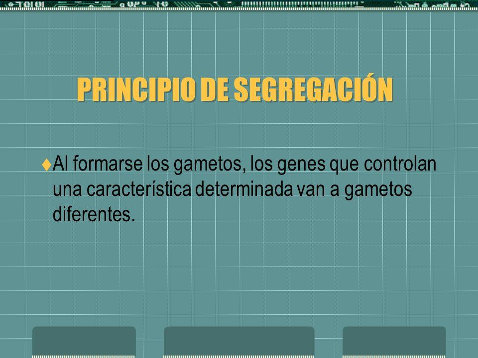 PRINCIPIO DE SEGREGACIÓN Al formarse los gametos, los genes que controlan una característica determinada van a gametos diferentes.