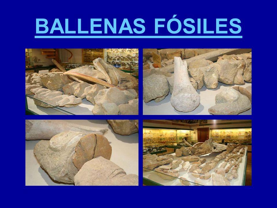 BALLENAS FÓSILES