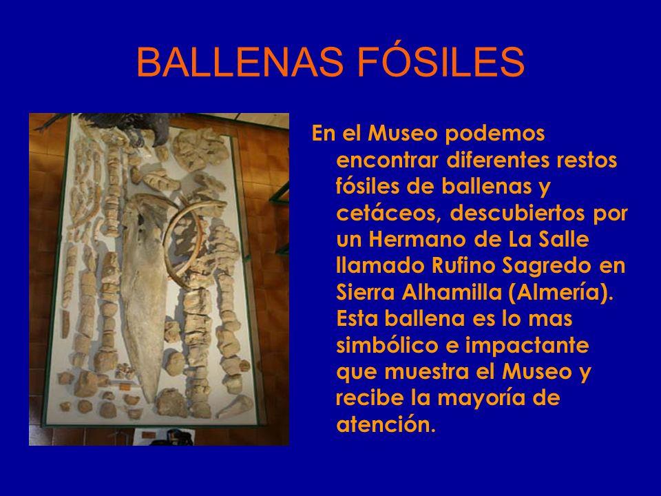 En el Museo podemos encontrar diferentes restos fósiles de ballenas y cetáceos, descubiertos por un Hermano de La Salle llamado Rufino Sagredo en Sier