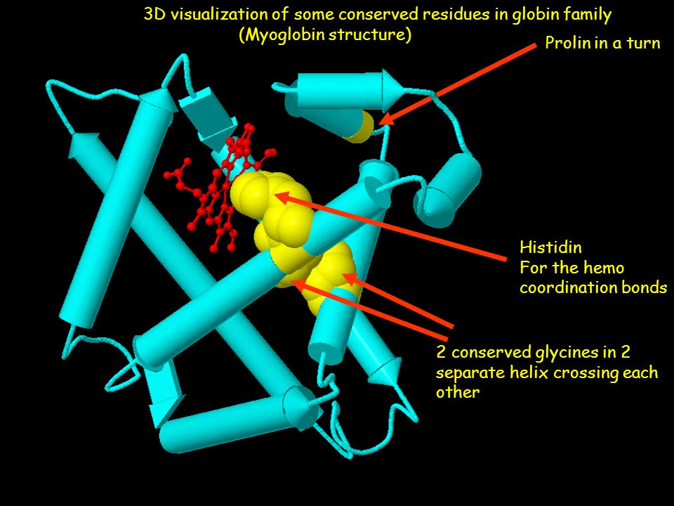 Histidin For the hemo coordination bonds Prolin in a turn 2 conserved glycines in 2 separate helix crossing each other 3D visualization of some conser