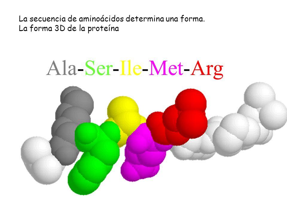 -----Ala-Ser-Ile-Met-Arg------ La secuencia de aminoácidos determina una forma. La forma 3D de la proteína