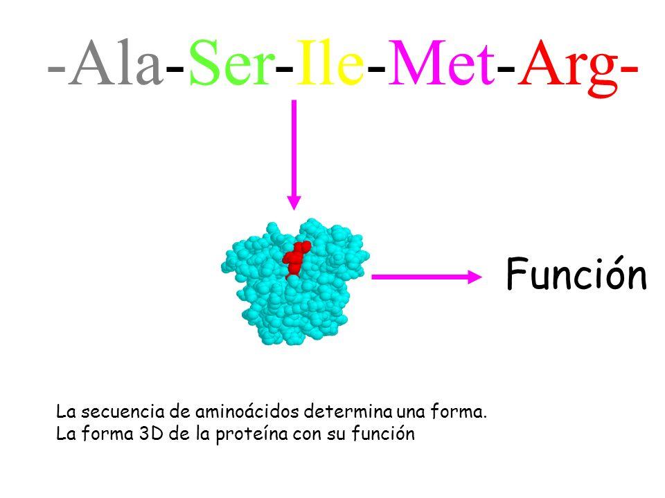 -Ala-Ser-Ile-Met-Arg- Función La secuencia de aminoácidos determina una forma. La forma 3D de la proteína con su función