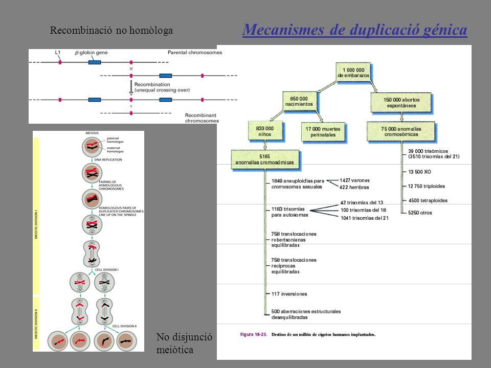 Mecanismes de duplicació génica Recombinació no homòloga No disjunció meiòtica