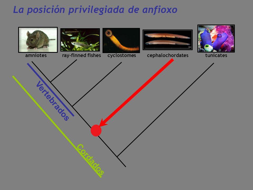 amniotes ray-finned fishescyclostomescephalochordatestunicates Vertebrados Cordados La posición privilegiada de anfioxo