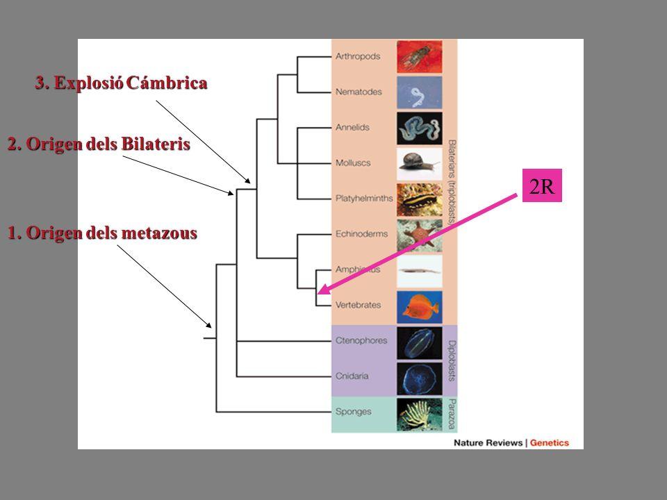 2R 1. Origen dels metazous 2. Origen dels Bilateris 3. Explosió Cámbrica
