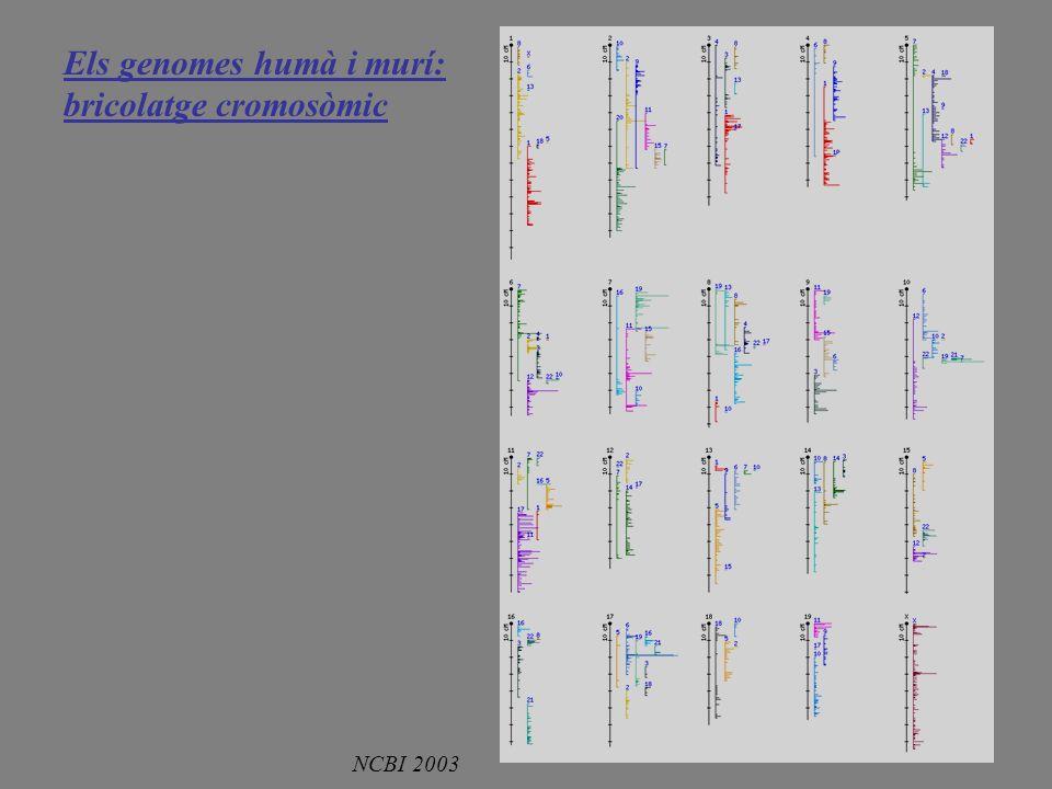 Els genomes humà i murí: bricolatge cromosòmic NCBI 2003