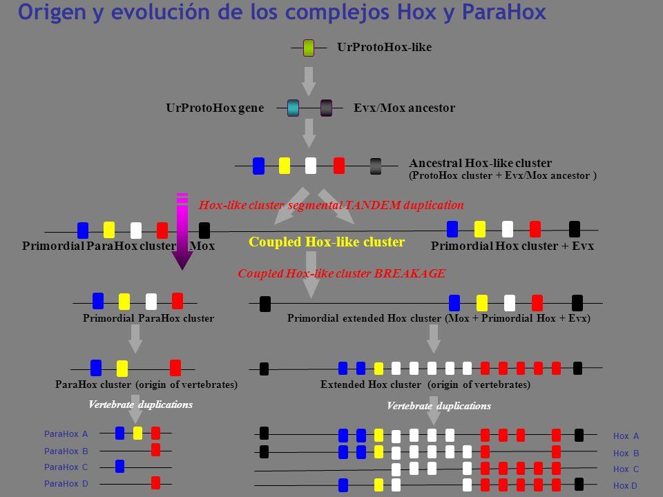 Origen y evolución de los complejos Hox y ParaHox UrProtoHox gene Hox-like cluster segmental TANDEM duplication Evx/Mox ancestor Coupled Hox-like clus