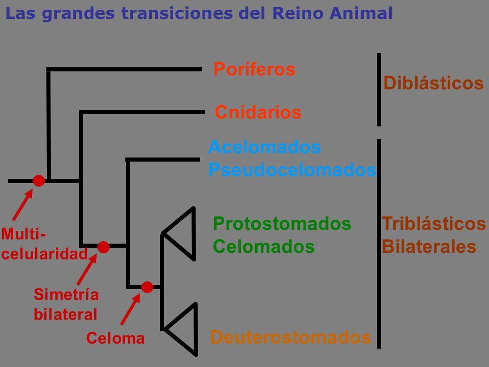 Cnidarios Acelomados Pseudocelomados Protostomados Celomados Deuterostomados Triblásticos Bilaterales Celoma Simetría bilateral Poríferos Diblásticos