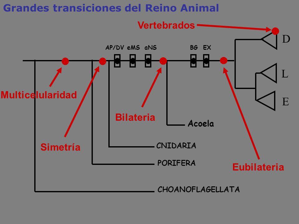 Grandes transiciones del Reino Animal D CNIDARIA Acoela L E PORIFERA eMSAP/DVBGaNSEX CHOANOFLAGELLATA Simetría Bilateria Eubilateria Vertebrados Multi