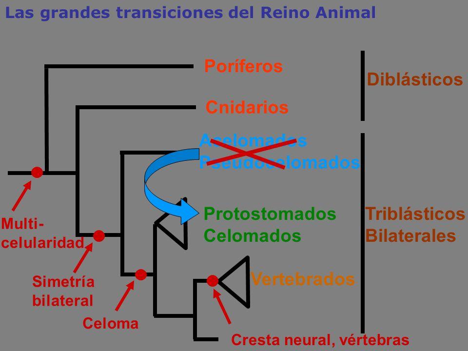 Cnidarios Acelomados Pseudocelomados Protostomados Celomados Triblásticos Bilaterales Celoma Simetría bilateral Poríferos Las grandes transiciones del
