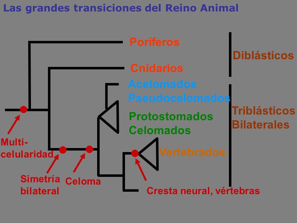Cnidarios Acelomados Pseudocelomados Protostomados Celomados Triblásticos Bilaterales Celoma Simetría bilateral Poríferos Diblásticos Las grandes tran