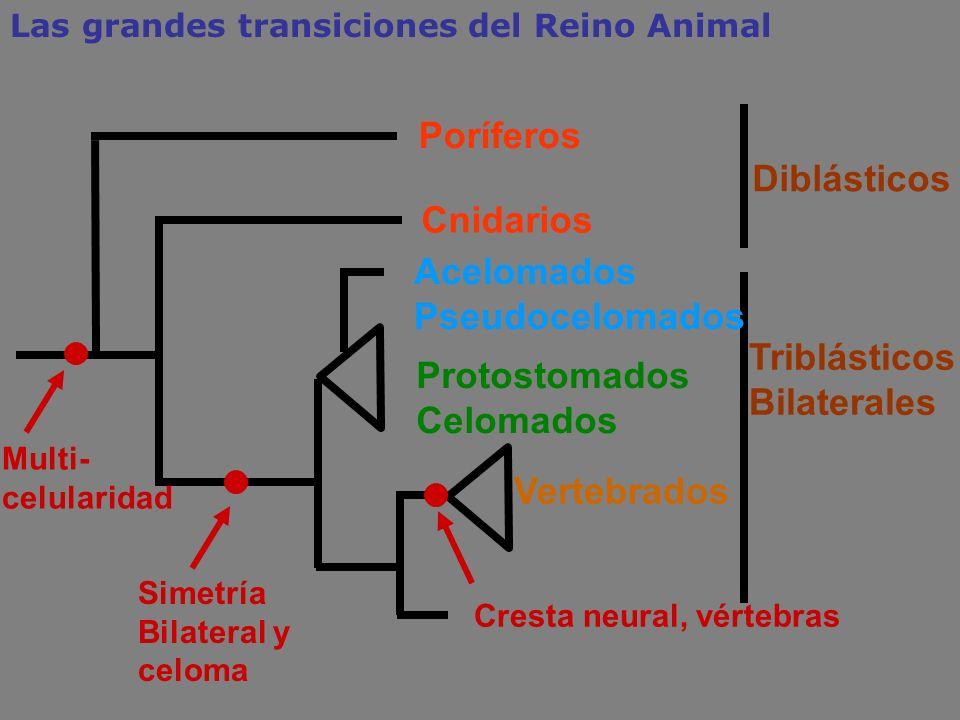 Cnidarios Protostomados Celomados Triblásticos Bilaterales Simetría Bilateral y celoma Poríferos Diblásticos Las grandes transiciones del Reino Animal