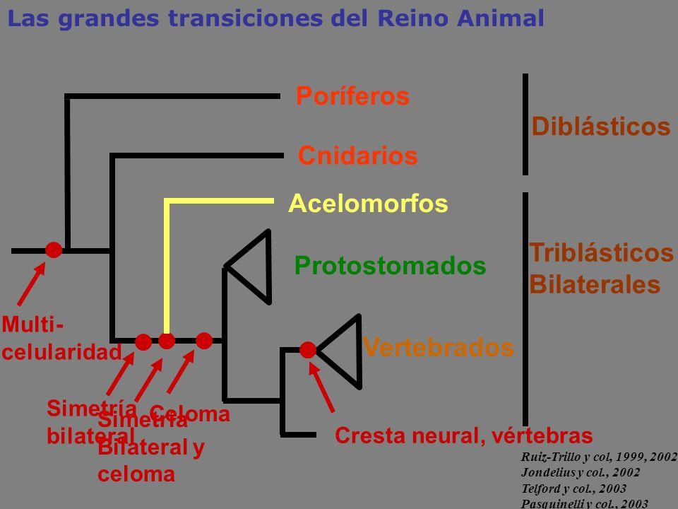 Cnidarios Protostomados Triblásticos Bilaterales Simetría Bilateral y celoma Poríferos Diblásticos Las grandes transiciones del Reino Animal Multi- ce
