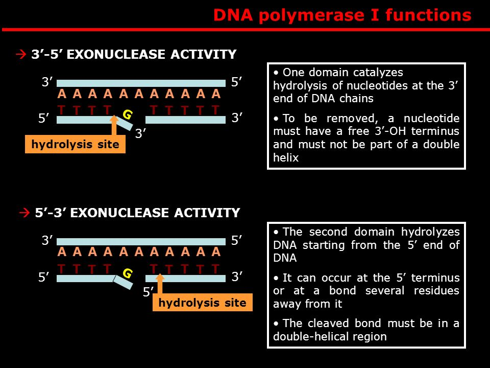 DNA polymerase I functions 3-5 EXONUCLEASE ACTIVITY A 53 AAAAAAAAAA hydrolysis site 3 T 5 3 G T TT TT TT T One domain catalyzes hydrolysis of nucleotides at the 3 end of DNA chains To be removed, a nucleotide must have a free 3-OH terminus and must not be part of a double helix 5-3 EXONUCLEASE ACTIVITY 53 AAAAAAAAAAA hydrolysis site 5 5 3 G TT T TT TT TT The second domain hydrolyzes DNA starting from the 5 end of DNA It can occur at the 5 terminus or at a bond several residues away from it The cleaved bond must be in a double-helical region