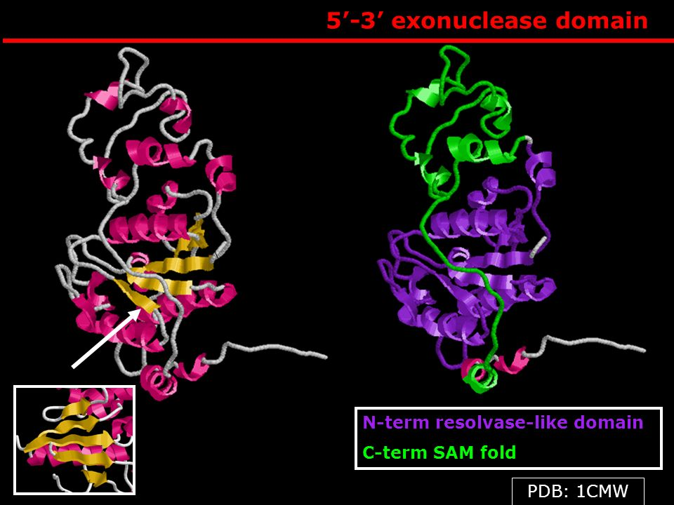 5-3 exonuclease domain N-term resolvase-like domain C-term SAM fold PDB: 1CMW