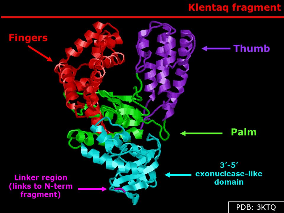 Klentaq fragment Thumb Palm 3-5 exonuclease-like domain Fingers Linker region (links to N-term fragment) PDB: 3KTQ